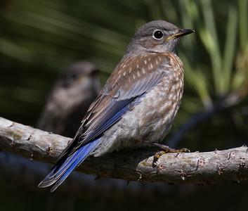 Western Bluebird Buddy Todd Park Oceanside 2015 05 23-1.CR2