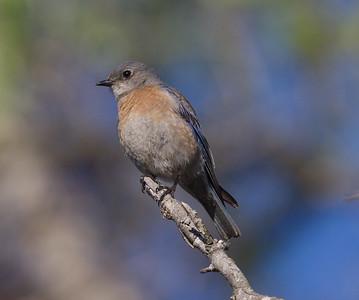 Western Bluebird Bonzal 2016 03 16-2.CR2