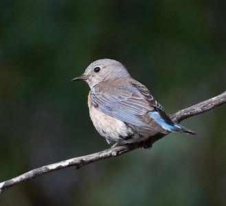 Western Bluebird Guajomi Regional Park 2021 05 22-216.CR3