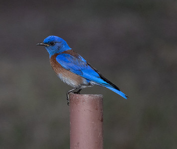 Western Bluebird Guajomi Regional Park 2021 05 22-217.CR3