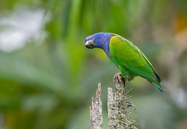 Blue-headed Parrot - Loro de cabeza azul (Pionus menstruus)