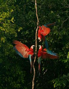 Red and Green Macaw - Guacamayo rojo y verde (Ara chloropterus)