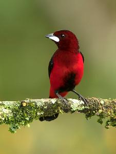 Crimson-backed Tanager - Toche pico de plata  (Ramphocelus dimidiatus)