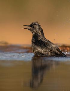 Spotless Starling - Estornino negro (Sturnus unicolor)