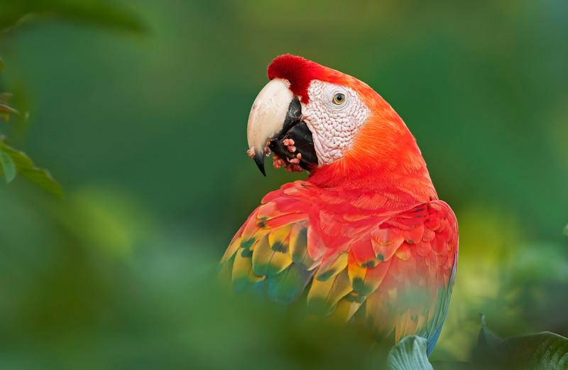 Scarlet Macaw - Guacamayo escarlata (Ara macao)