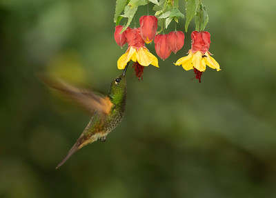 Buff-tailed Coronet - Colibrí chupasavia (Boissonneaua flavescens)