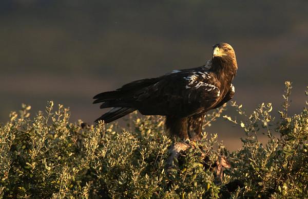 Spanish Imperial Eagle - Águila imperial ibérica (Aquila adalberti)