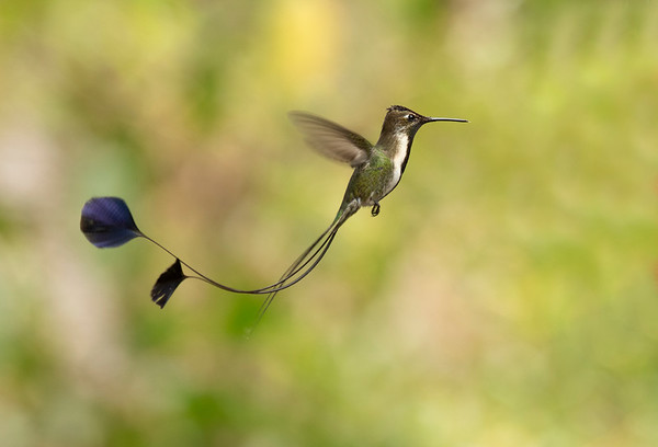 Marvellous Spatuletail - Colibrí cola de espátula (Loddigesia mirabilis)