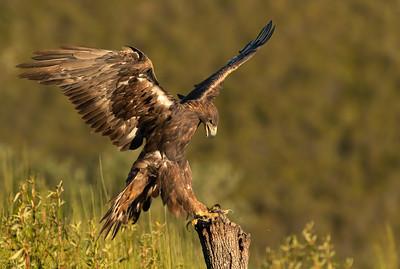 Golden Eagle - Águila real (Aquila chrysaetos)