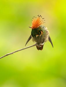 Rufous-crested Coquette - Coqueta de cresta rufa (Lophornis delattrei)