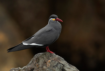 Inca Tern - Zarcillo (Larosterna inca)