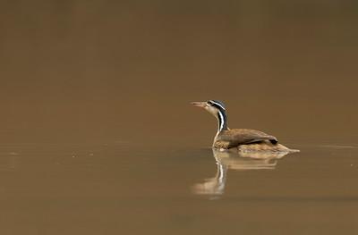 Sungrebe - Ave de Sol (Heliornis fulica)