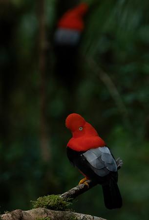 Andean Cock of the Rock - Gallito de las rocas andino (Rupicola peruvianus)