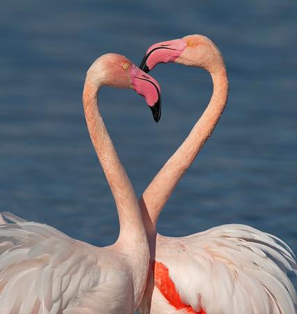 Greater Flamingo - Flamenco común (Phoenicopterus roseus)