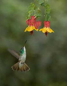 Andean Emerald - Colibrí andino (Uranomitra franciae)