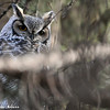 Great Horned Owl...watching the people go by at Fish Park