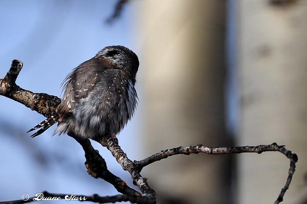 2010 Nov 11 Pygmy-owl Caper