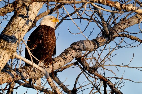 1 2012 Jan 5 Eagle, Deer, Red Bellied Woodpecker Brown Creeper & Others