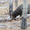 black tail buck