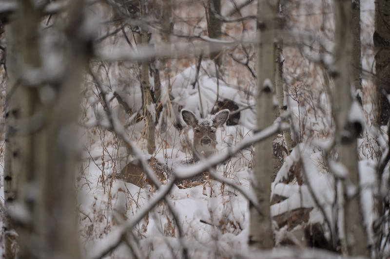Female Black Tail Deer in a snow storm