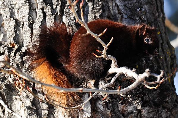 12 2011 Dec 28 Northern Hawk Owl, Squirrel & Turkeys