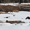 Eagles and Crows at a road kill gravel pit dump north of Fernie BC