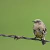Mountain Blue Bird - Female