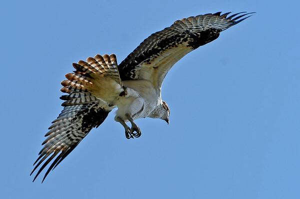 5 May 31 Osprey Family