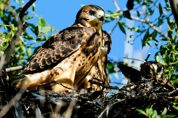 8 2011 Aug 1 Field Trip Hawk Babies and a Bug