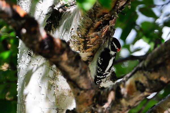 9 2011 Sept 5 Downy/Hairy Woodpecker