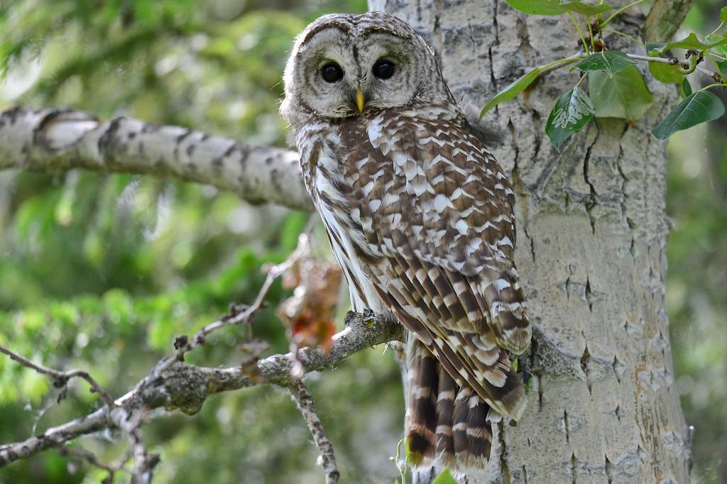 barred owl - adult