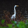 Great Egret - Oct 16, 2007