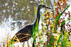 Great Blue Heron - Oct 13, 2007