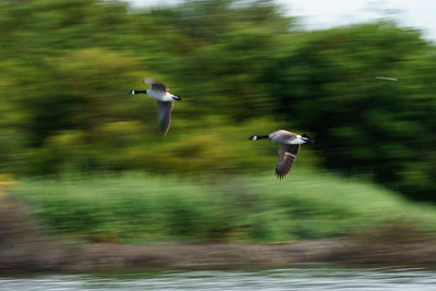 Technical: Panning.  Hard to find the shutter speed for BIFs.