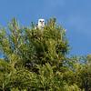 New White-tailed Kite in the neighborhood