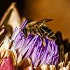 Bees love artichokes
