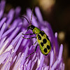 Spotted Cucumber Beetles love artichokes too.