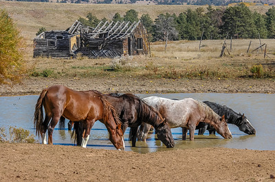 Wild Horses and Old Wood Cabin