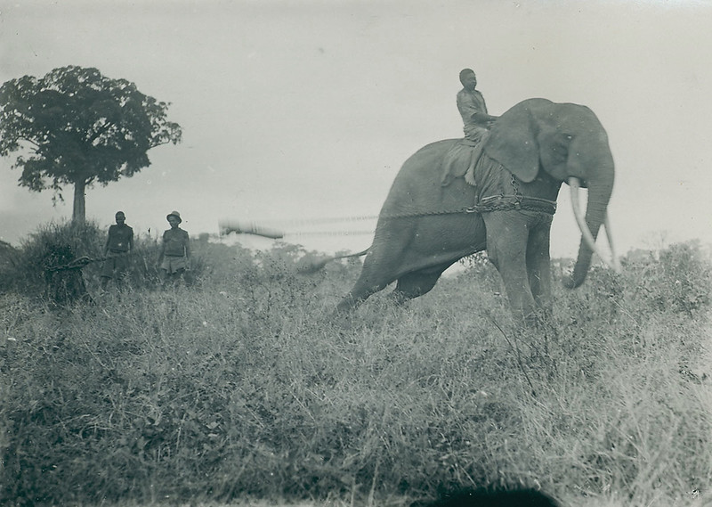 Elephant domestication in the Belgian-Congo