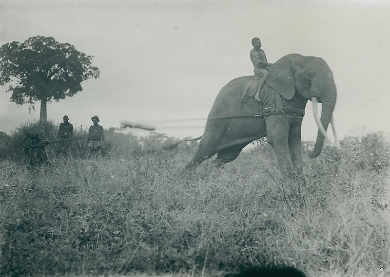 Elephant domestication in the Belgian-Congo