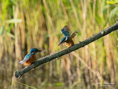 Feeding time for the kingfishers