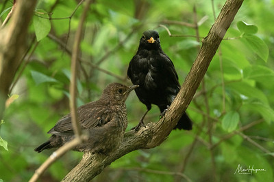Blackbird male with juvenile