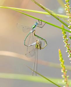 Emerald damselflies in copula
