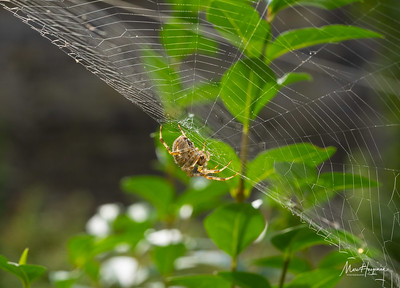European garden spider