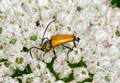 Tawny Longhorn Beetle