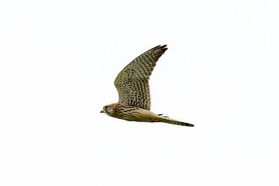 Kestrel (female)