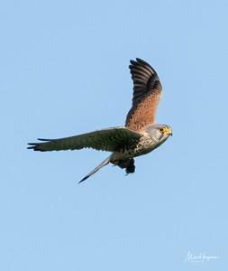 Kestrel (male)