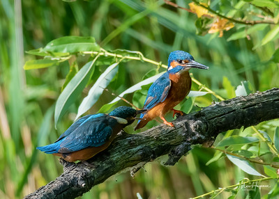 Kingfisher (juvenile and adult male)