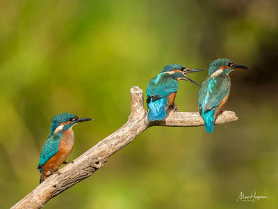 Kingfisher (two juveniles and adult female)