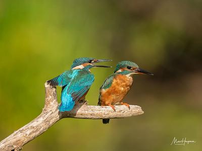 Kingfishers (juvenile and adult female)